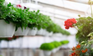 Flower production and cultivation, growing flowers in greenhouses